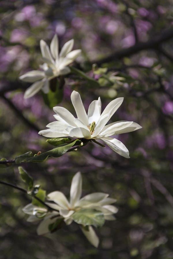 美丽的木兰在庭院造成一心情 免版税图库摄影