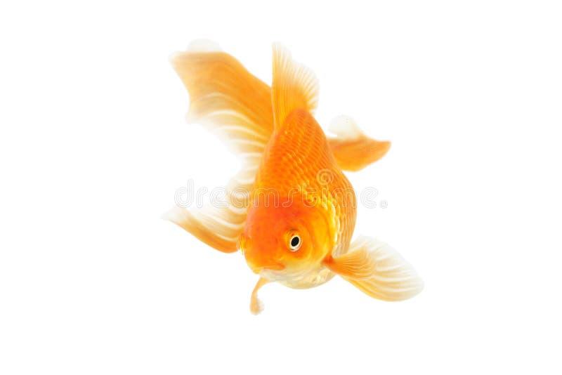 美丽的杉状尾金鱼 免版税库存图片