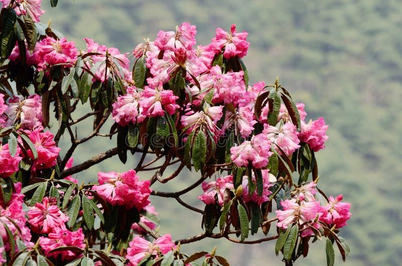 美丽的杜鹃花桃红色花开花,喜马拉雅山,尼泊尔, Ev 免版税图库摄影