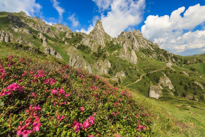 美丽的杜鹃花花和夏天在Ciucas山,罗马尼亚环境美化 免版税库存照片