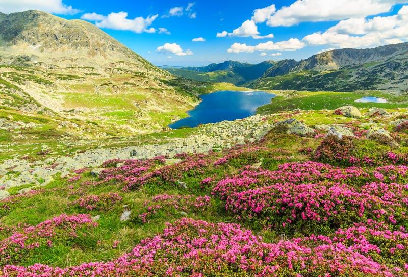 美丽的杜鹃花花和Bucura山湖, Retezat山,罗马尼亚 免版税图库摄影