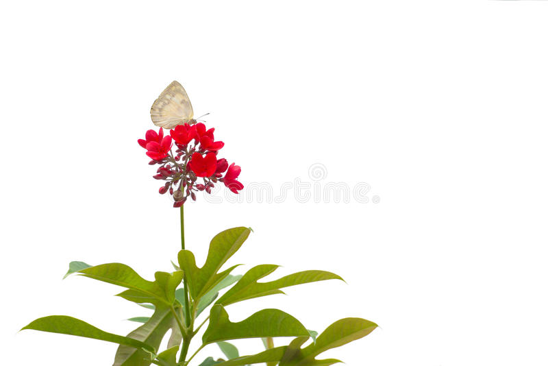 美丽的柠檬移出境者& x28;Catopsilia波诺马& x29;在红色花的女性栖息处 图库摄影