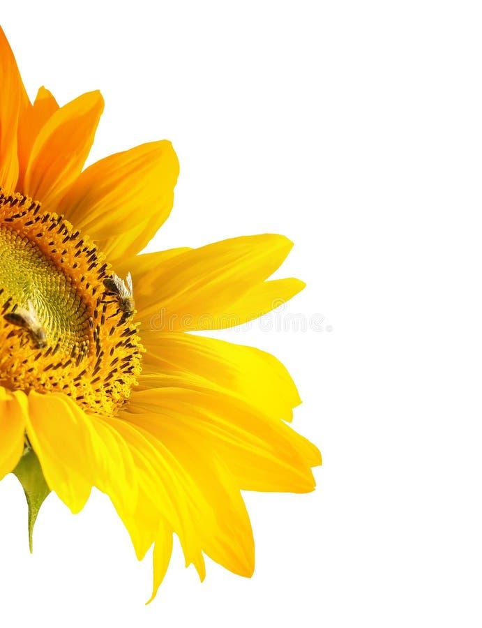 美丽的查出的向日葵 库存图片