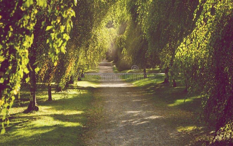 美丽的树胡同在与渗出金黄的光的早期的秋天  免版税库存图片