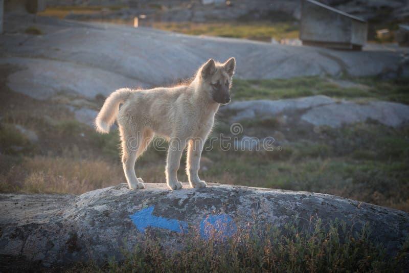 美丽的格陵兰拉雪橇狗点燃与从温暖的夏天太阳的背后照明 伊卢利萨特,格陵兰 格陵兰狗小狗这些品种 免版税库存照片