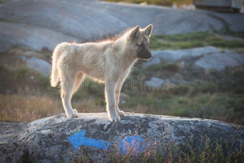 美丽的格陵兰拉雪橇狗点燃与从温暖的夏天太阳的背后照明 伊卢利萨特,格陵兰 格陵兰狗小狗这些品种 免版税库存图片