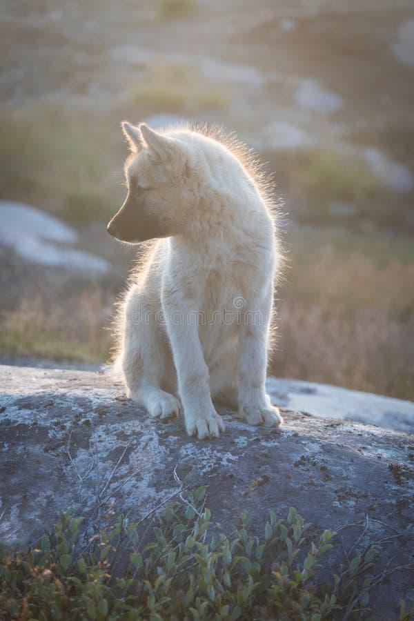 美丽的格陵兰拉雪橇狗点燃与从温暖的夏天太阳的背后照明 伊卢利萨特,格陵兰 格陵兰狗小狗这些品种 图库摄影
