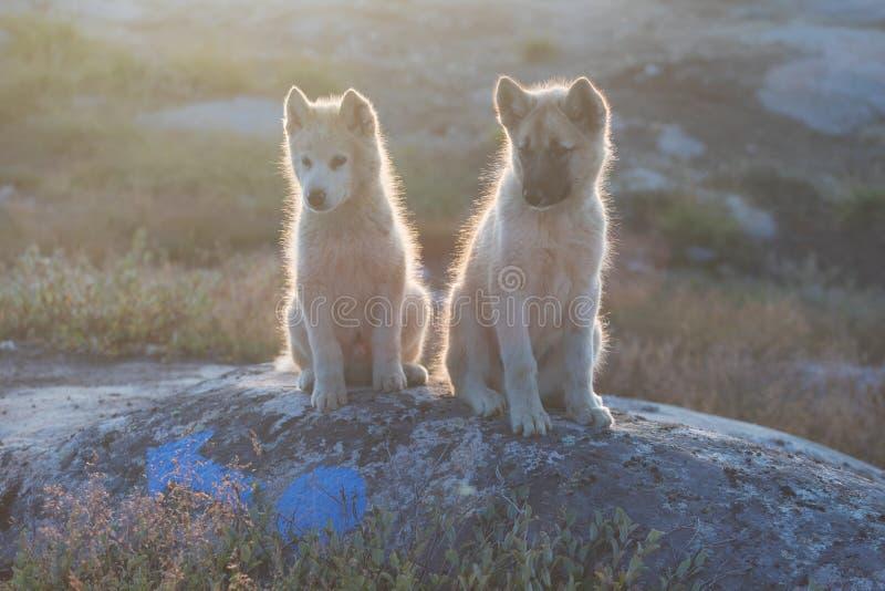 美丽的格陵兰拉雪橇狗点燃与从温暖的夏天太阳的背后照明 伊卢利萨特,格陵兰 格陵兰狗小狗这些品种 库存照片