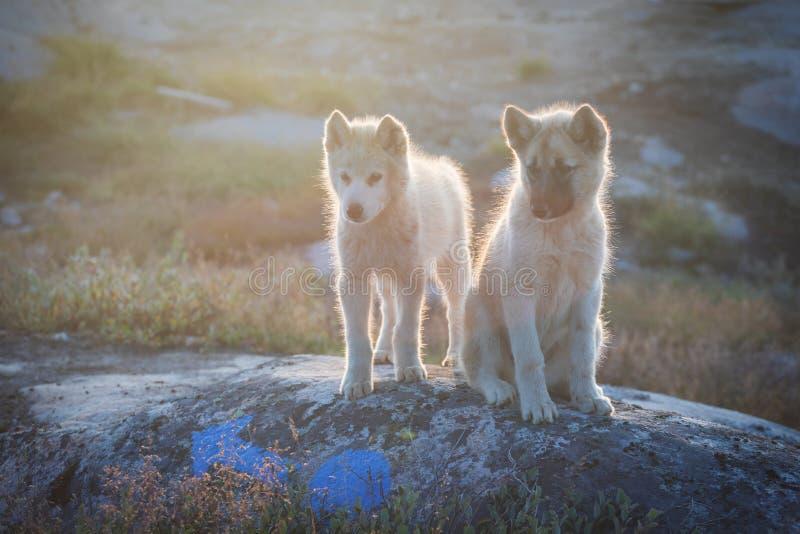 美丽的格陵兰拉雪橇狗点燃与从温暖的夏天太阳的背后照明 伊卢利萨特,格陵兰 格陵兰狗小狗这些品种 库存图片