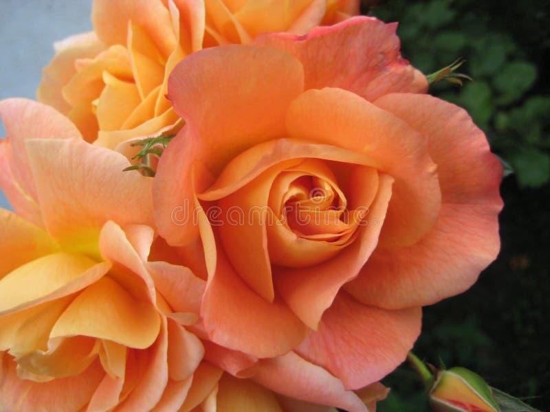 美丽的桃子橙色玫瑰在秋天庭院里 库存照片