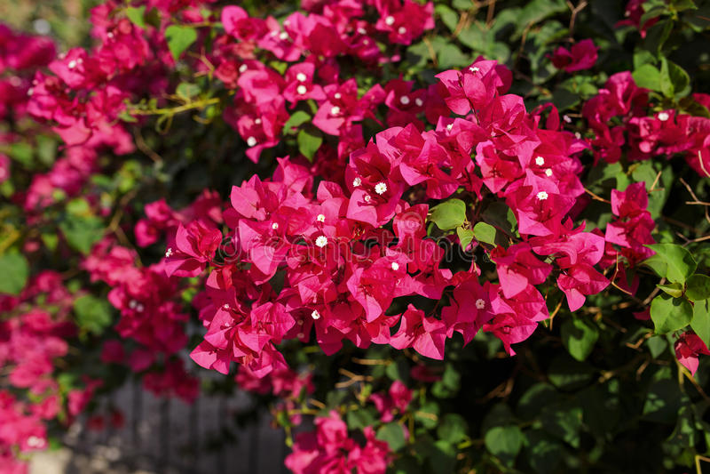 美丽的桃红色九重葛花 库存照片
