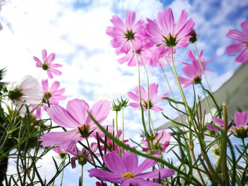 美丽的桃红色和白色波斯菊花againt蓝天在新阳光天 库存照片