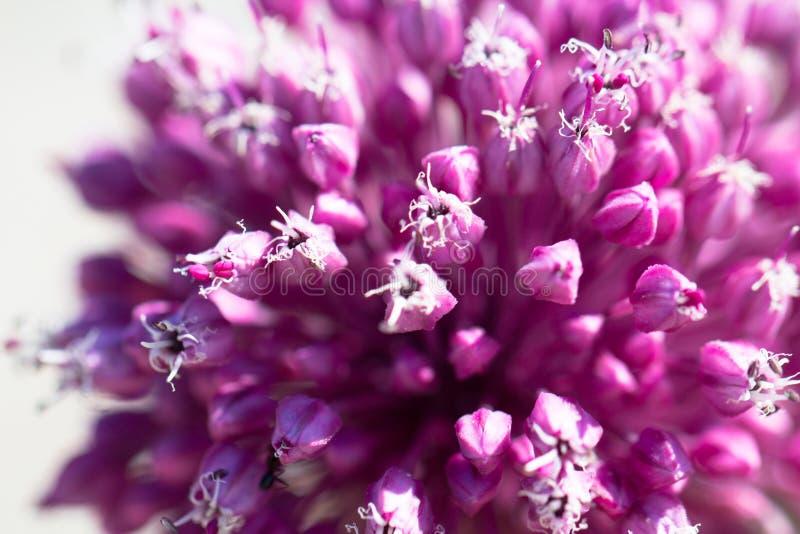 美丽的桃红色和紫色大蒜花开花当春天backgr 库存图片