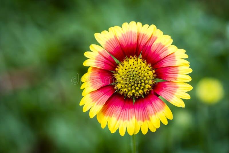 美丽的桃红色和黄色花在庭院里 库存照片