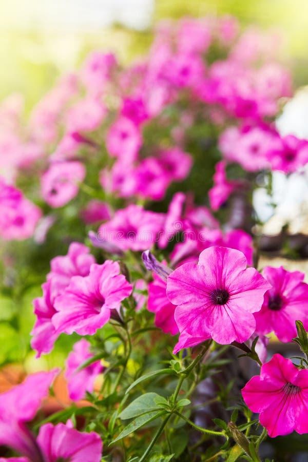 美丽的桃红色喇叭花开花喇叭花hybrida 库存图片
