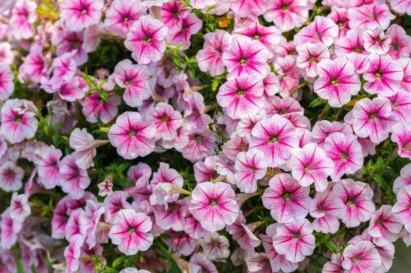 美丽的桃红色喇叭花Hybrida花 图库摄影