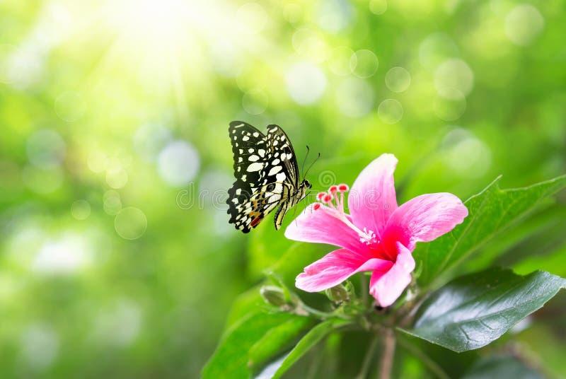 美丽的桃红色在自然和振翼的蝴蝶的花银莲花属新春天早晨在软的绿色背景,宏观 免版税库存照片