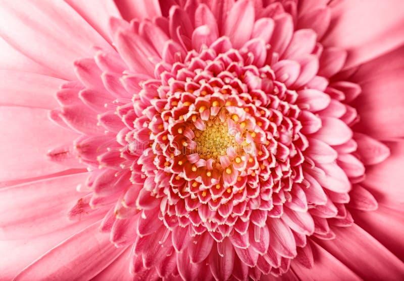 美丽的桃红色大丁草花,特写镜头 库存图片