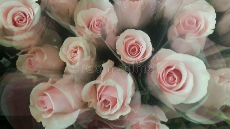 美丽的桃红色天鹅绒玫瑰 库存照片