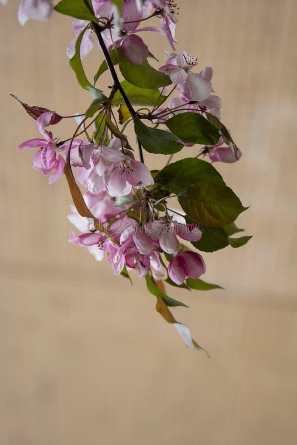 美丽的桃红色春天樱桃树花开花,关闭  打开的花 库存照片