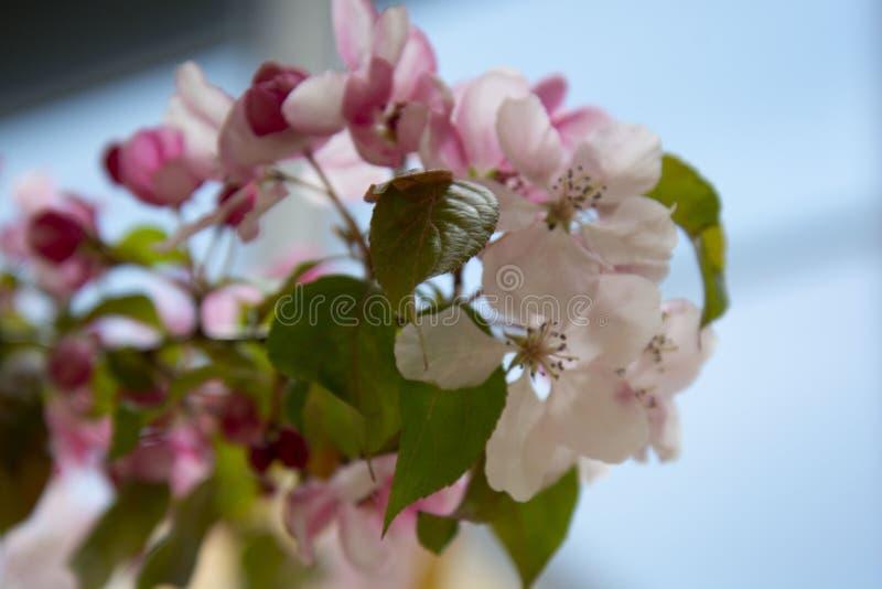 美丽的桃红色春天樱桃树花开花,关闭  打开的花 免版税图库摄影