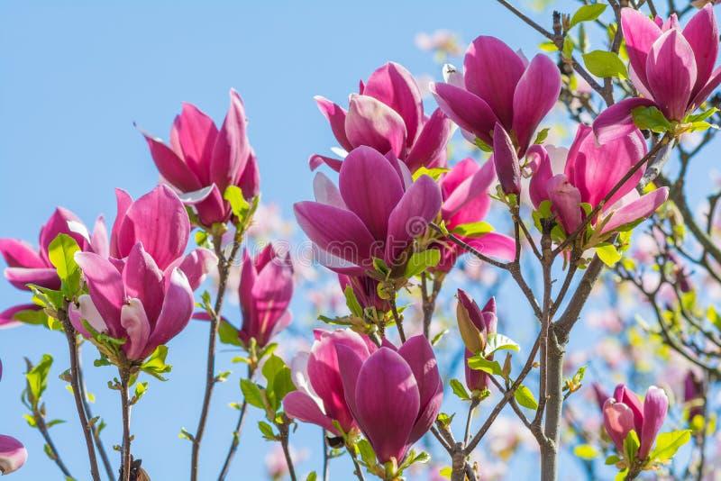 美丽的桃红色木兰花开花特写镜头 免版税库存照片