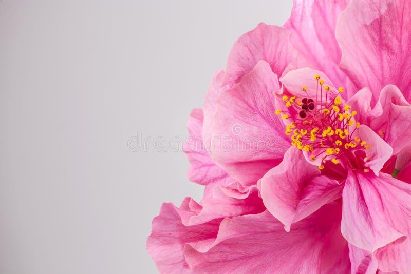 美丽的桃红色木槿特写镜头开花与copyspace 免版税库存照片