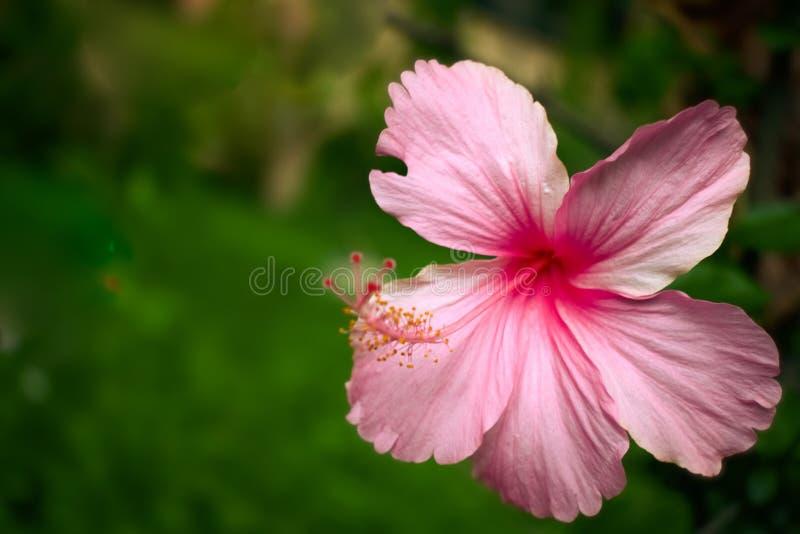 美丽的桃红色木槿花在庭院里有绿色背景 库存照片