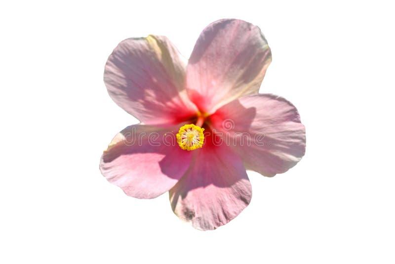 美丽的桃红色木槿花在白色背景中 免版税库存照片