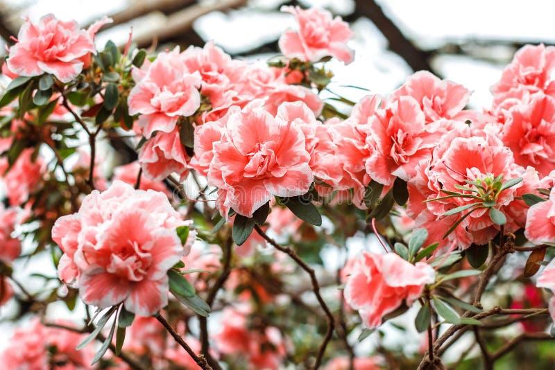 美丽的桃红色杜鹃花树开花 杜娟花本质上 特写镜头桃红色沙漠座莲花 库存照片