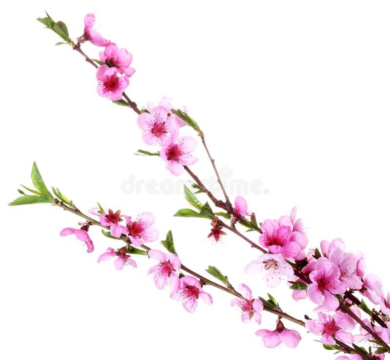 美丽的桃红色桃子开花 库存照片