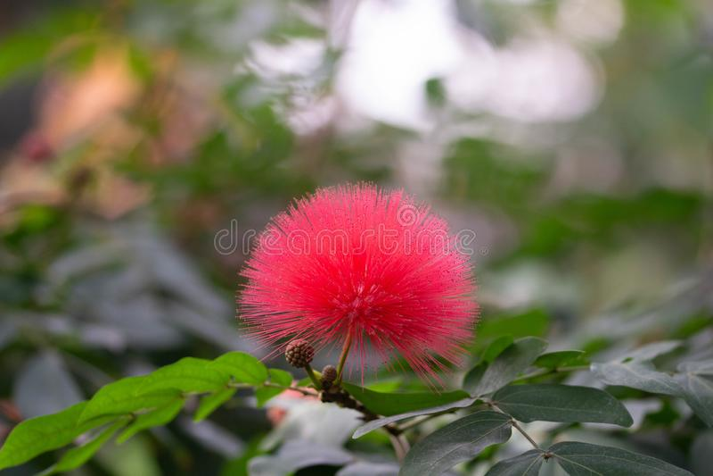 美丽的桃红色棉花球热带花 免版税库存照片