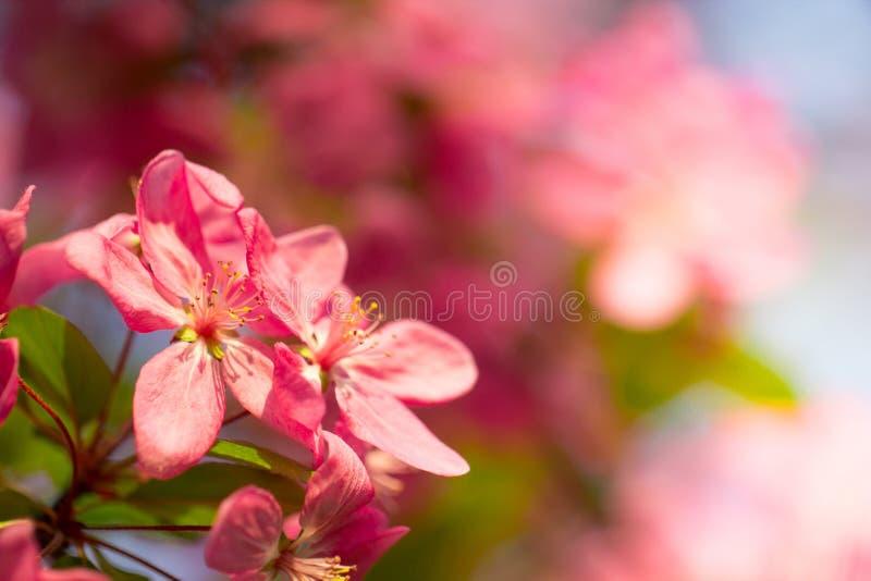 美丽的桃红色樱桃花开花 库存图片