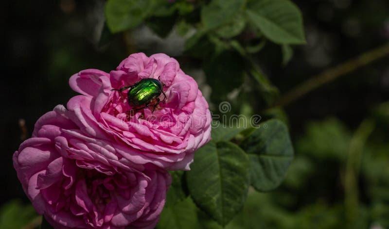 美丽的桃红色玫瑰和绿色甲虫对此特写镜头 免版税库存照片