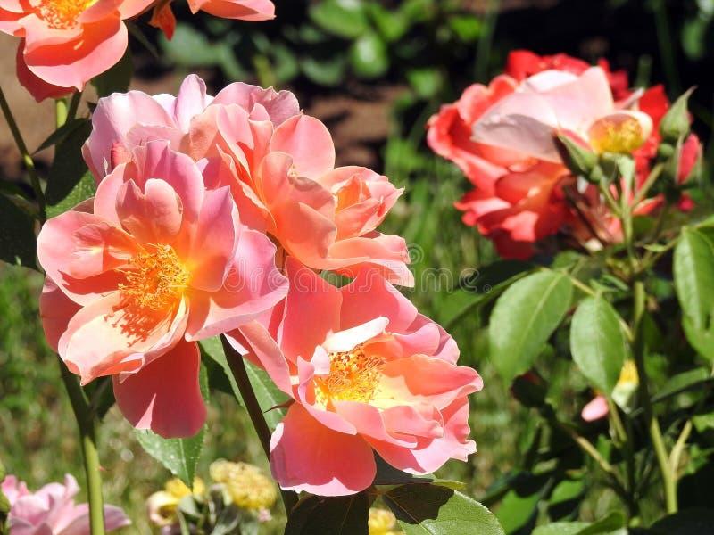美丽的桃红色玫瑰在庭院,立陶宛里 图库摄影