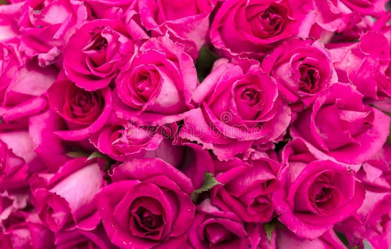 美丽的桃红色玫瑰开花,关闭  新桃红色背景  免版税库存照片