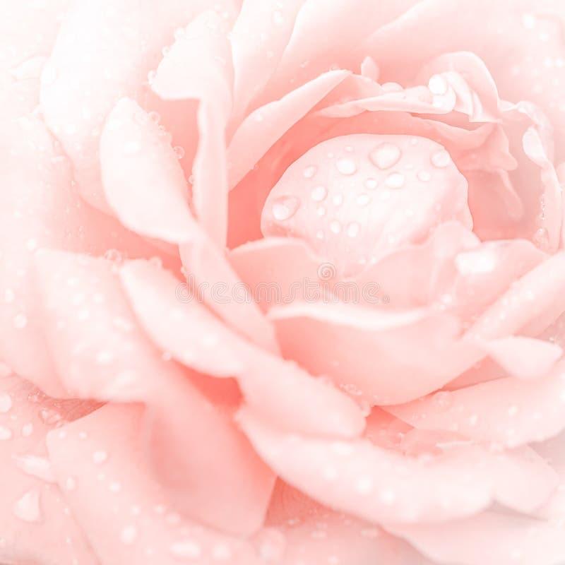 美丽的桃红色玫瑰花抽象宏观射击  免版税库存图片