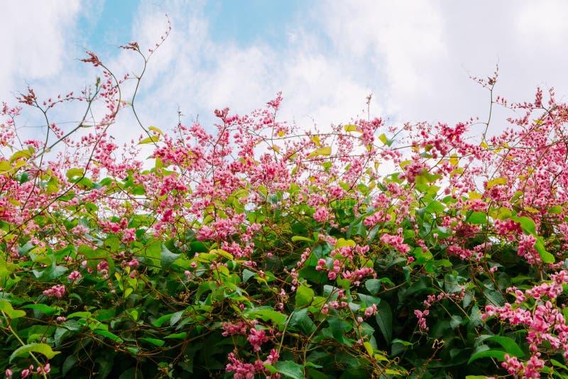 美丽的桃红色珊瑚藤或爱fl墨西哥爬行物或者链子  库存照片