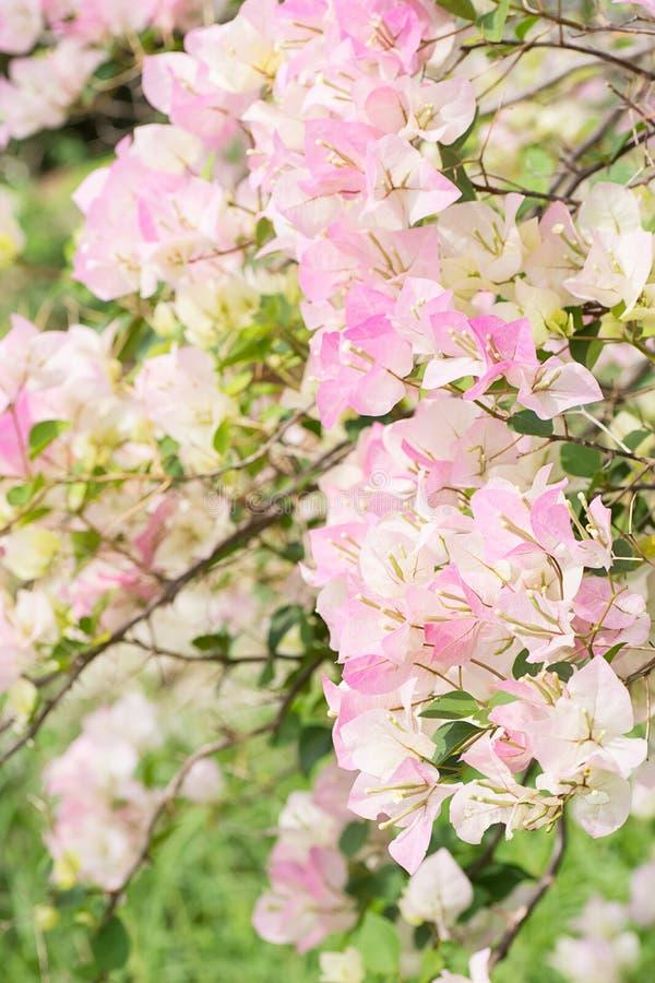 美丽的桃红色白色九重葛开花有迷离背景 免版税库存图片