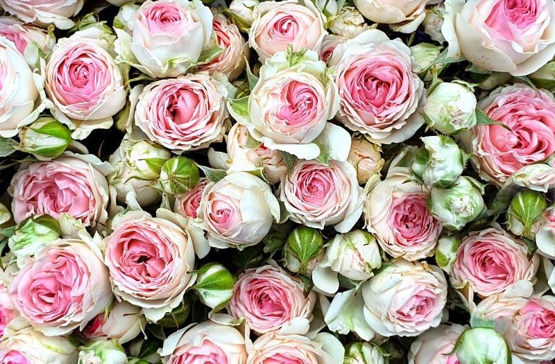 美丽的桃红色白色茶上升了与有一种精美气味说类似那茶市场fl的花花束的一朵庭院玫瑰 免版税库存照片