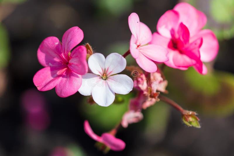 美丽的桃红色花在公园 免版税库存照片