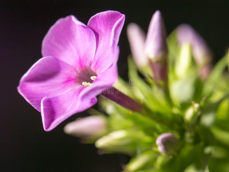 美丽的桃红色花本质上,特写镜头 图库摄影