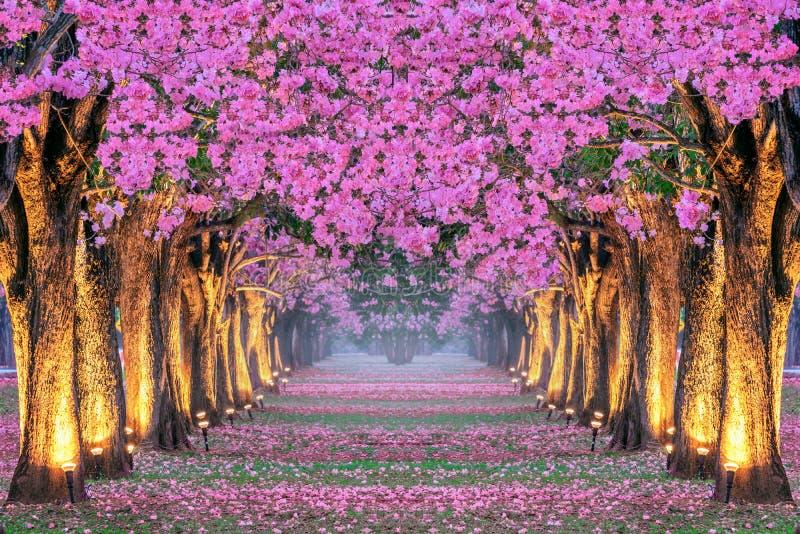 美丽的桃红色花树行  库存照片