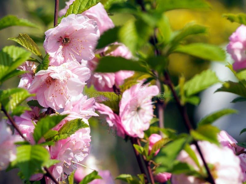 美丽的桃红色花-李属triloba,榆叶梅树 免版税库存照片
