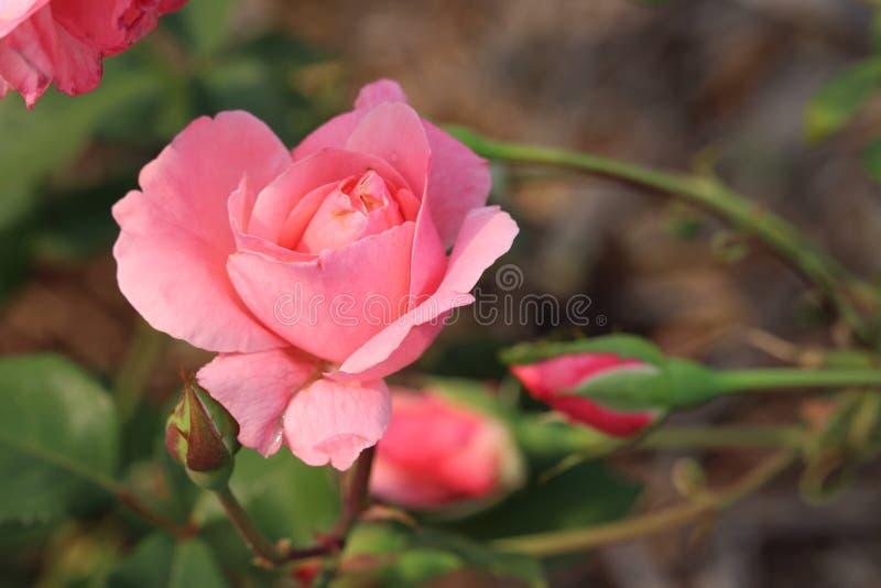 美丽的桃红色英国女王伊丽莎白二世罗斯 库存图片