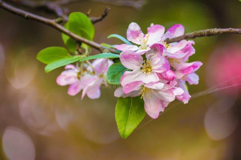 美丽的桃红色苹果开花花 软绵绵地集中 免版税库存图片