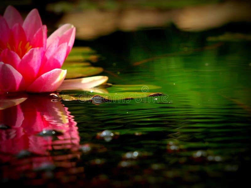 美丽的桃红色荷花在庭院池塘 库存照片
