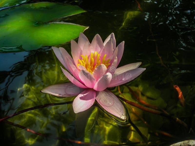 美丽的桃红色荷花或莲花Marliacea Rosea在与太阳强光的反射的透明的水中在底部的 免版税库存图片