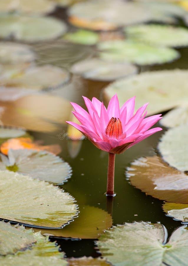 美丽的桃红色莲花 免版税库存图片