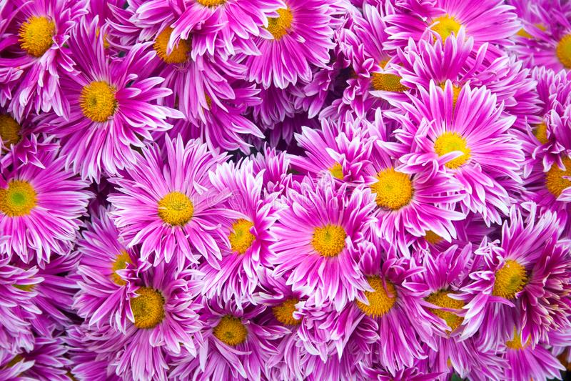 美丽的桃红色菊花当背景图片 菊花墙纸,菊花在秋天 库存图片